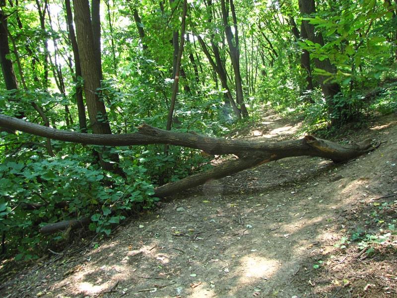 Oboreno stablo u Košutnjačkoj šumi